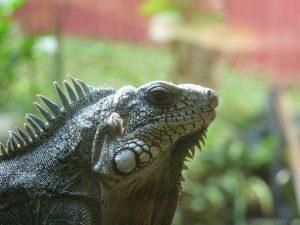 Iguane du jardin